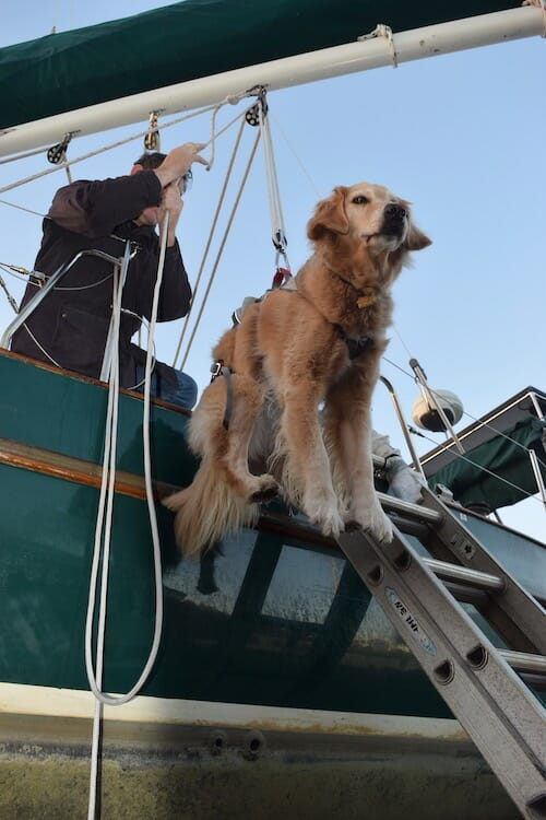 Honey the golden retriever flies off the boat.