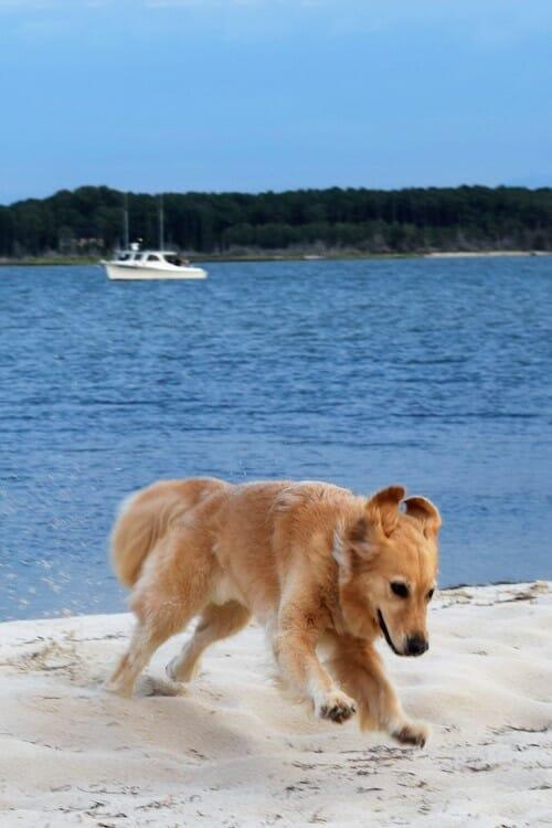 Honey the golden retriever plays on the beach at Dividing Creek off Hughlett Point.