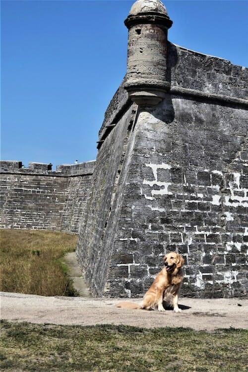 Honey the golden retriever visits Castillo de San Marcos.