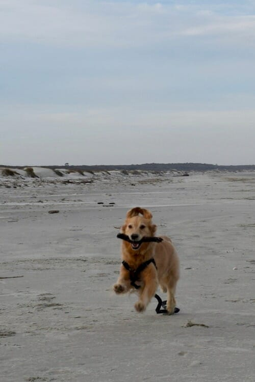 Honey the golden retriever runs on Cumberland Island beach.