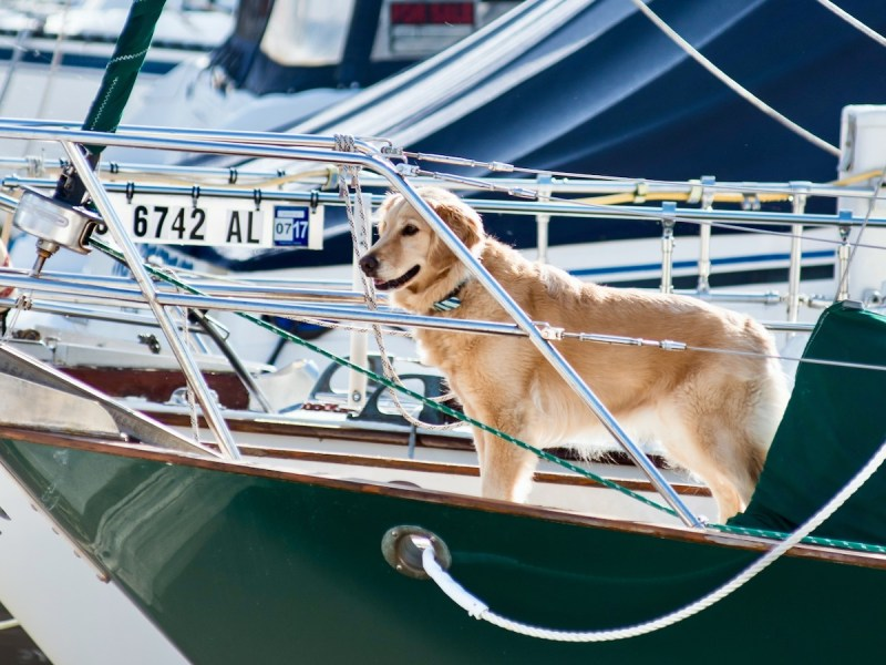 Keep your dog from jumping off the bridge. (Golden retriever on the bow of a sailboat.)