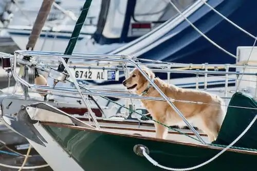 A boat dog deserves a boat-themed dog name. (golden retriever standing on the bow of a sailboat)