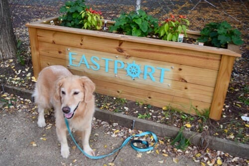 Honey the golden retriever walks in Eastport.