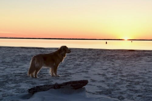 Golden retriever on the beach looking at sunset.