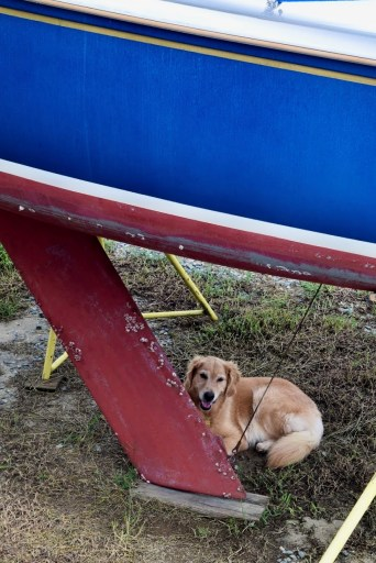 Golden retriever lying under a sailboat on stands.
