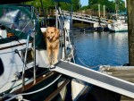 Honey using the dog ramp on the boat