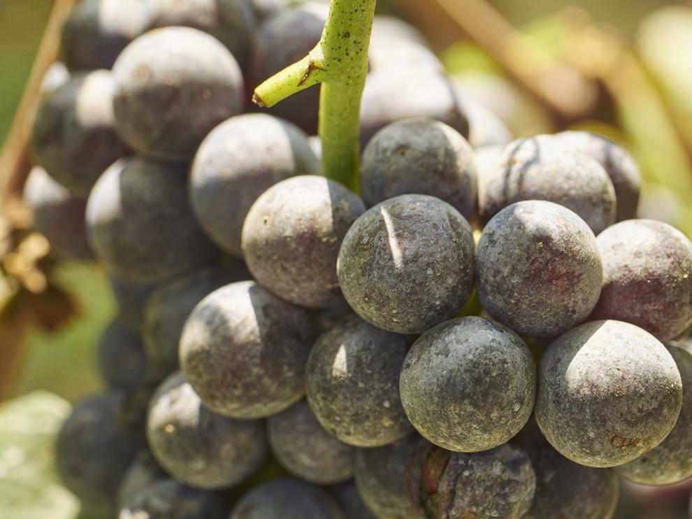 What is Nebbiolo Wine? | Nebbiolo Wine Styles and Regions | Barolo, Barbaresco & Langhe Nebbiolo