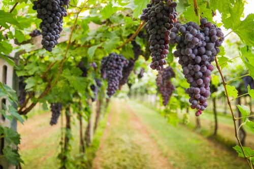 Ripe When Grapes Still on the Vine | SommelierQA.com