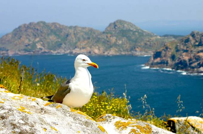 15 photos that will inspire you to visit the Cies Islands seagull image