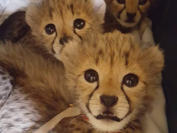 somaliland poached cheetah cubs