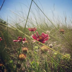 These beach wildflowers are everywhere here they come in shadeshellip