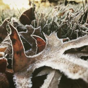 I have seen a few of these frosty leaf photoshellip