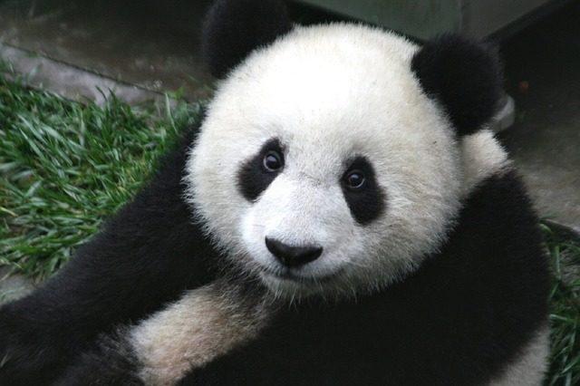 Selfie-taking Panda