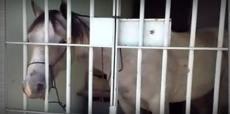 """Cavalo é """"preso"""" e passa a noite em delegacia de Sergipe"""