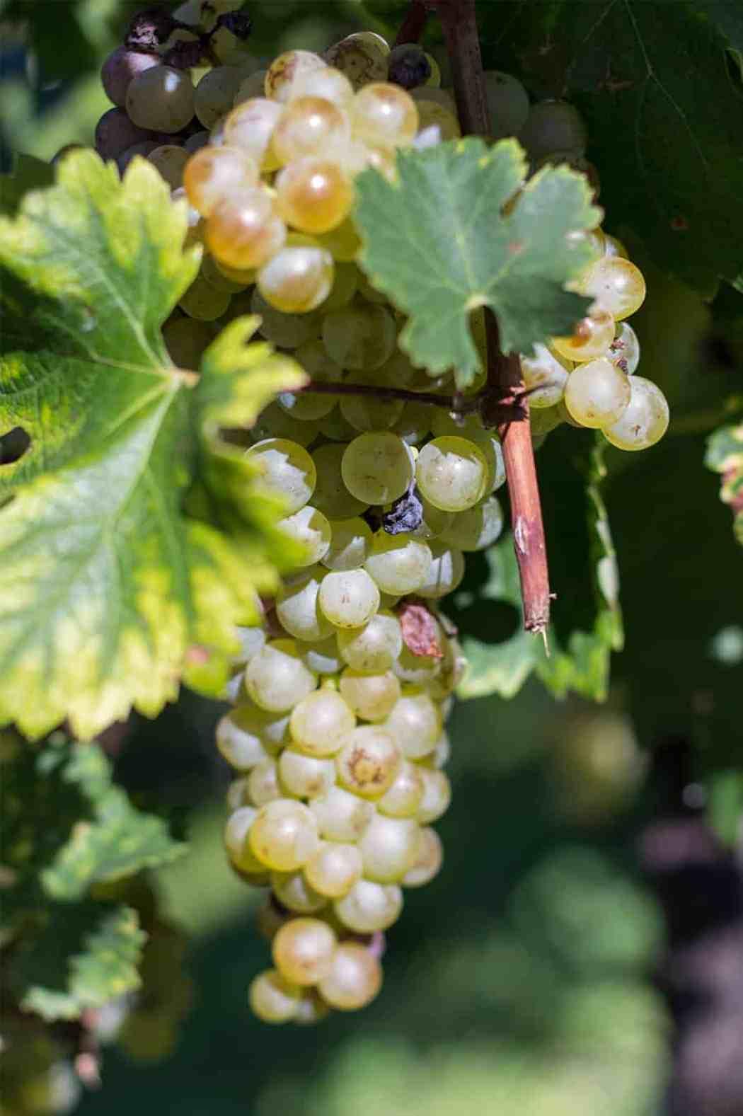 uva vitigni prosecco