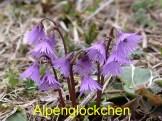 Alpengloeckchen
