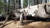 Big Sequoia