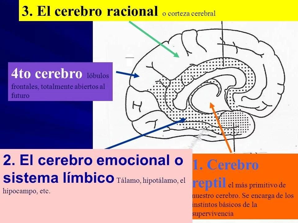 4-cerebro