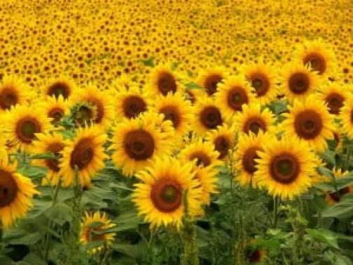 http://compartiendogirasoles.blogspot.com.es