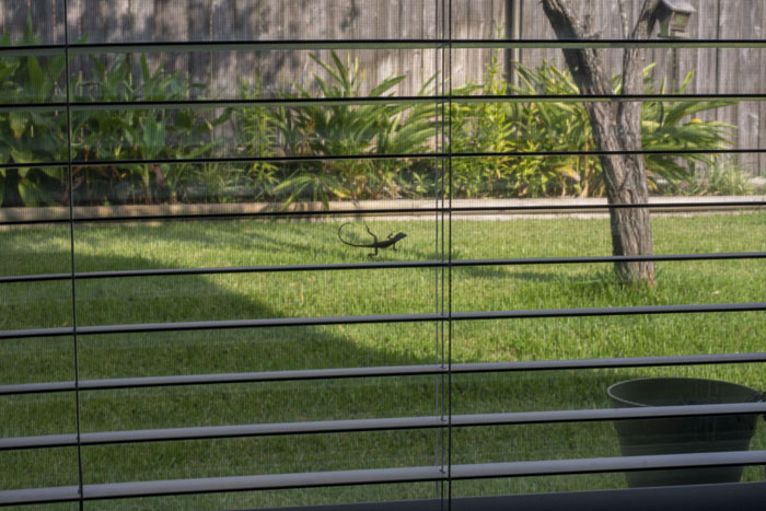 Lizard seen on a window through the open slats of blinds looking out to a green back yard
