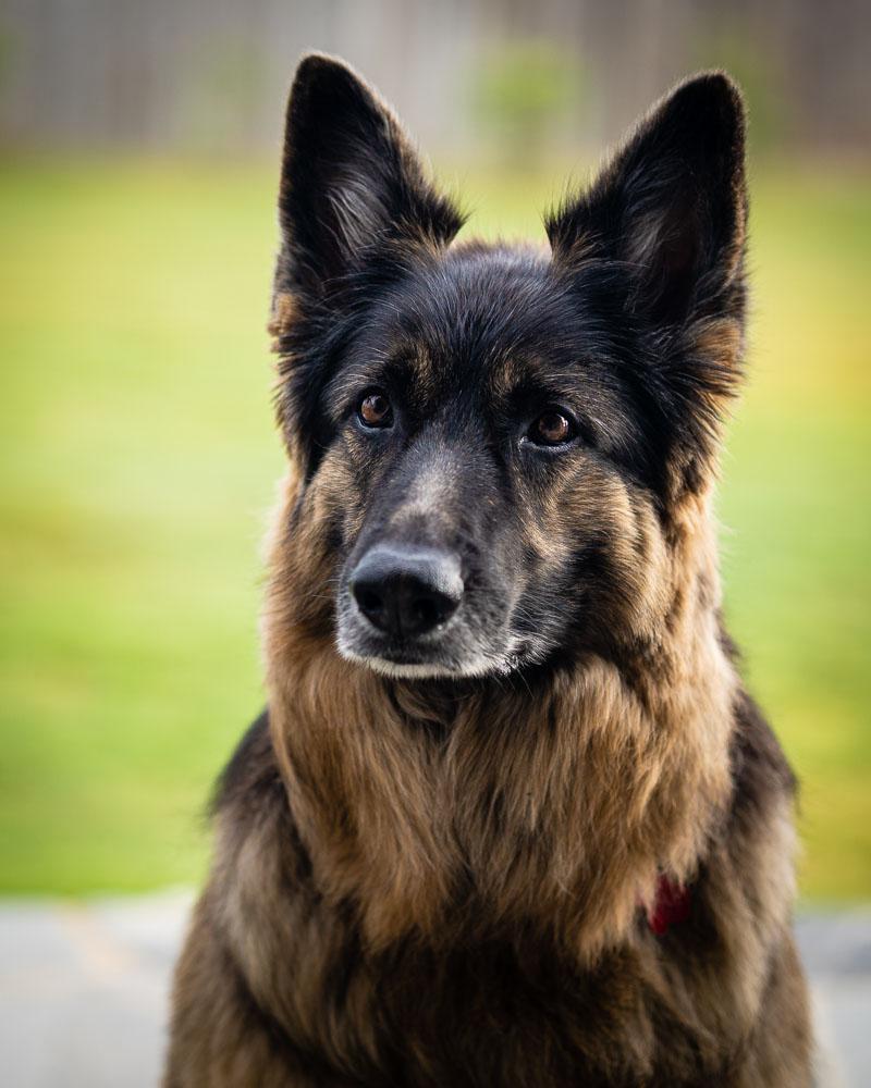 Dog Portrait - After