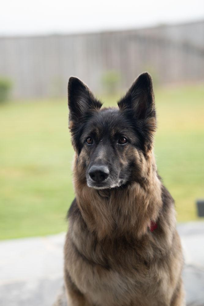 Dog Portrait - Before