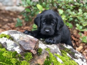 black lab puppies oklahoma - bubbles