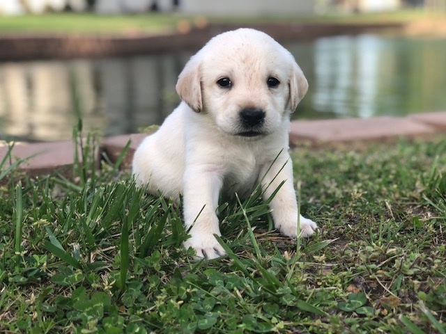 Yellow Lab Breeder-Oklahoma-Lucky