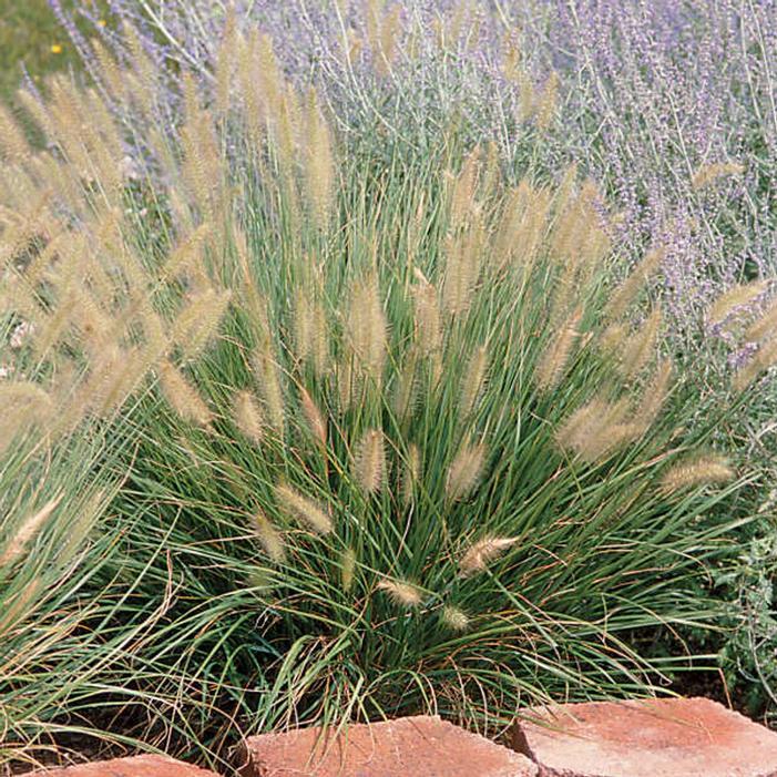 Hameln Dwarf Fountain Grass Buy Online Best Prices