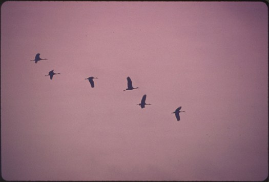 Flight of Lesser Sandhill Cranes Is Airborne over the Lillian Annette Rowe Bird Sanctuary at Grand Island, Nebraska, in Early Morning...03/1975