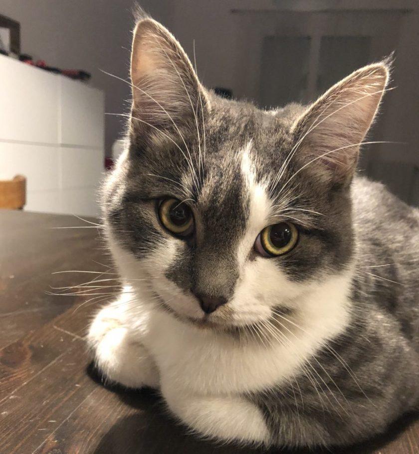 Pixel, un chat tigré européen (gris et blanc)
