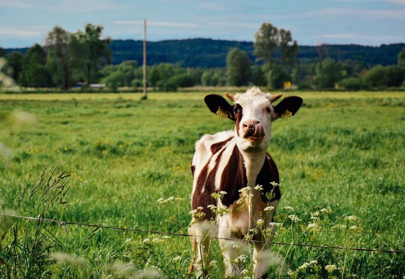 cow-932372_1920