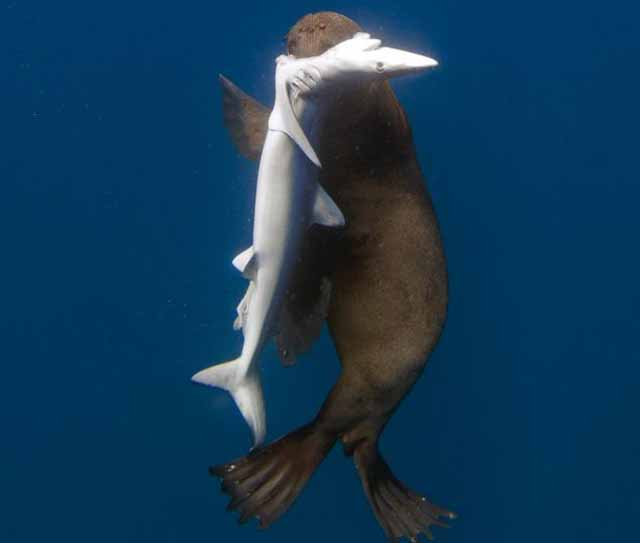 lobo_marino_vs_tiburon_1