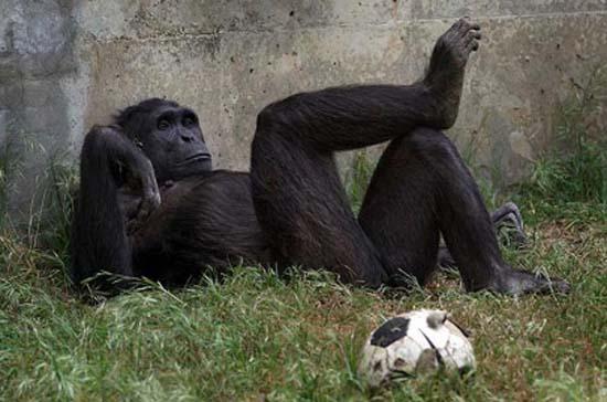 ad_gorila_descanso_