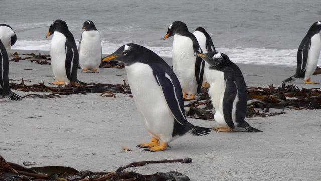 Pinguinos-4-Sea-Lions-Island-Dia-2