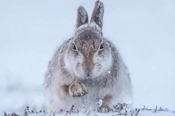 21-Rosamund-Macfarlane-Snow-hare