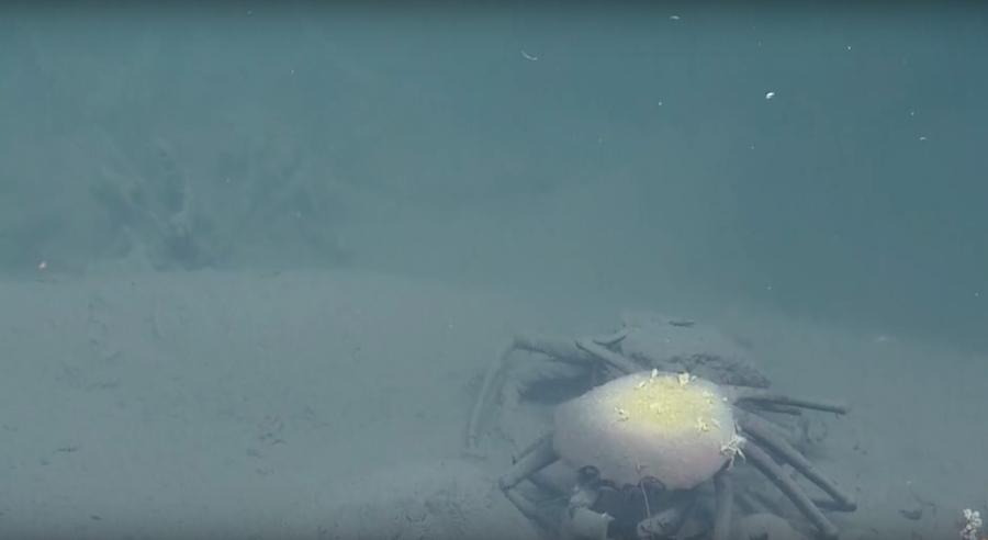 Cangrejos muertos en el Golfo de México