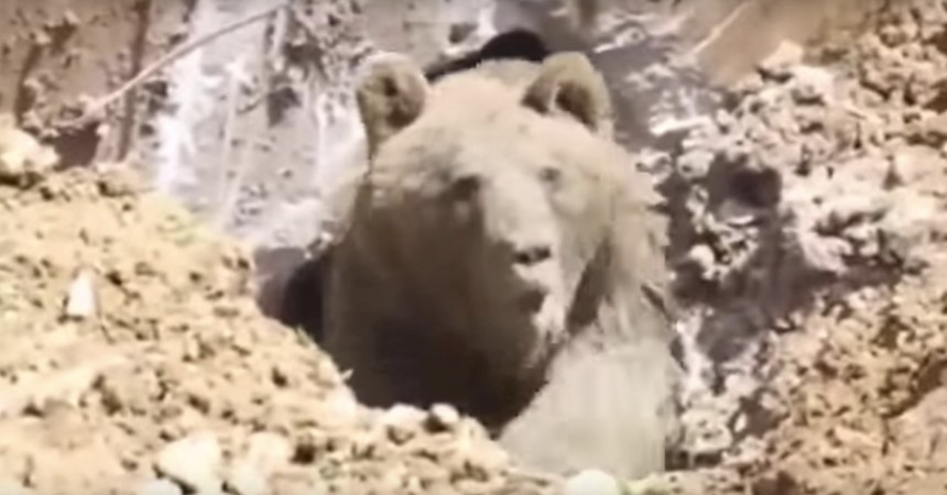 Oso grizzly en Turquía