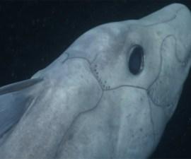 Un ejemplar vivo del tiburón fantasma