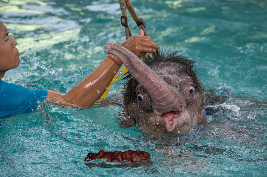 Elefante bebé - Popó en alberca