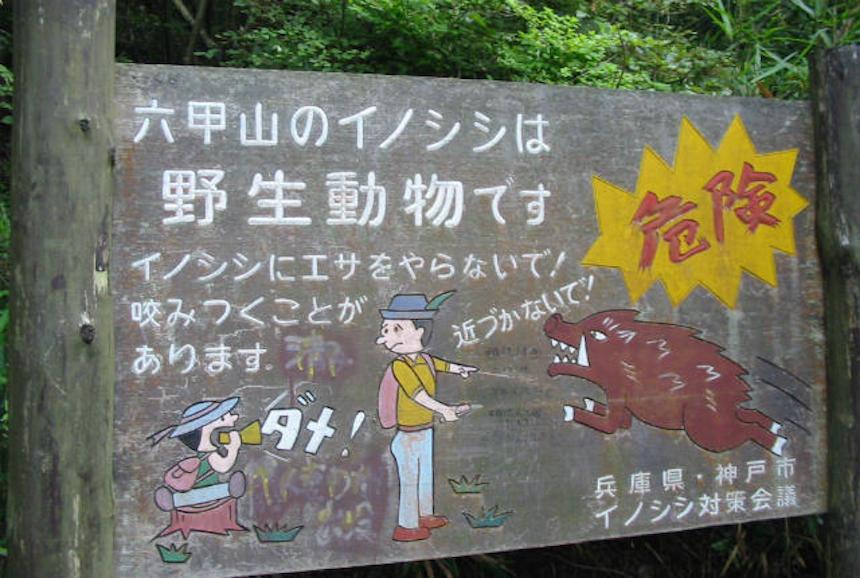 Jabalíes radiactivos en Fukushima