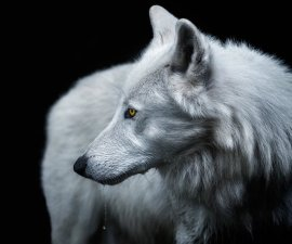 Smithsonian - Lobo Blanco