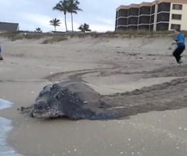 Tortuga laúd en Florida
