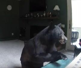 El oso que invadió una casa para tocar el piano
