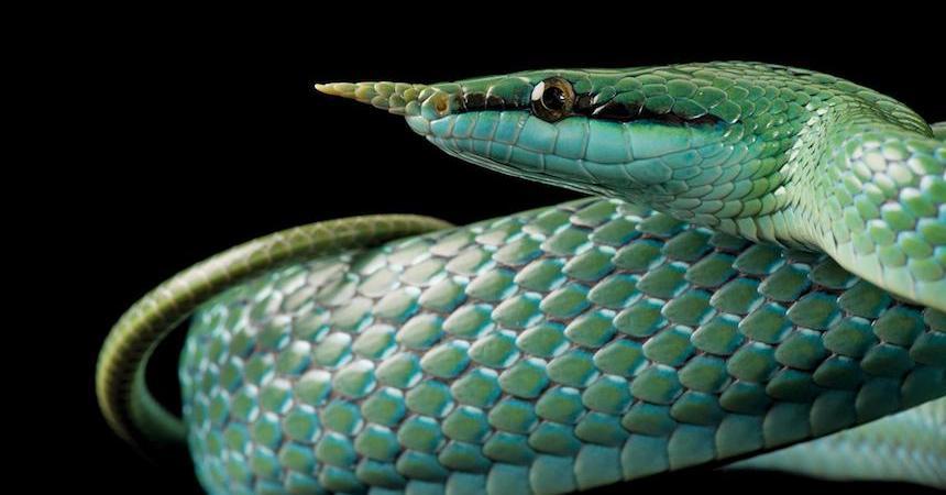 Animales en extinción - Serpiente colorida
