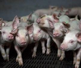 Cerdos para el consumo