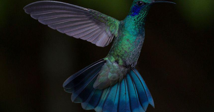Un colibrí en pleno vuelo