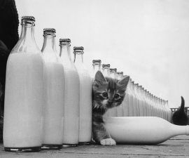 Gatito en una fila de botellas de leche