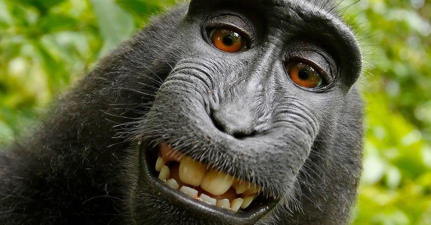 Humano gana batalla a mono por selfie