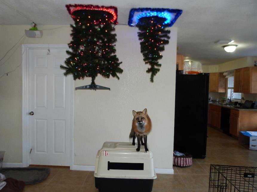 Protegiendo árboles de Navidad - Contra zorros